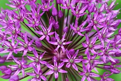 Allium Explosion (Jan Nagalski) Tags: purple green explosion spray burst floralburst flowerhead purpleflowers nature gardenflower garden denver colorado jannagalski jannagal perspective allium