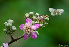 6 giugno 2018 (adrianaaprati) Tags: bramble branch flower pink butterfly pieride blur nature colors green purple flight wings buds park