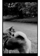 P63-2018-005 (lianefinch) Tags: argentique argentic analogique analog monochrome blackandwhite blackwhite bw noirblanc noiretblanc nb chien dog dogs chiens shiba inu fox renard animal nature parc