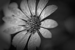 Curves of Emotion (Vanessa wuz Here) Tags: 7dwf 90mm macro flowers daisy macroflowers bw bokeh dew rain