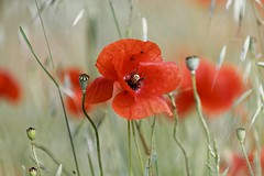 CH3A0900 (Ludo_M) Tags: coquelicot canoneos5dmarkiv canon eos 5d markiv ef70200mmf28lisiiusm bokeh colors red dof dslr ff full frame