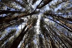 Árboles juntos (Juanocav) Tags: tree arbol bogota colombia colores fotografía nicon sky jungle bosque paisaje landscape arte