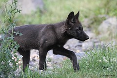 Louveteau du Canada (Passion Animaux & Photos) Tags: loup louveteau canada canadian wolf cub canis lupus occidentalis zoo pal france