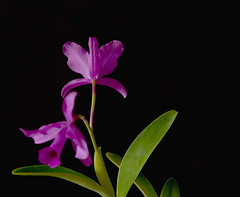 Bottom's up [Cattleya Orchid] (Dreaming of the Sea) Tags: smileonsaturday flora tamronsp2470mmf28divcusd nikond7200 flowers orchid purpleflower greenleaves blackbackground blackattheback depthoffield fromtheback flowersbottom