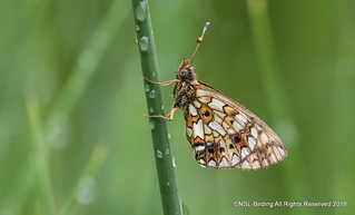 Small Pearl Bordered