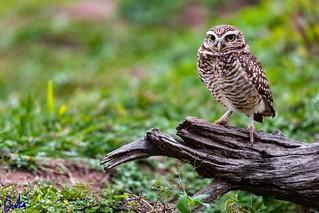 Lechuza de las vizcacheras - Burrowing owl (Athene cunicularia)