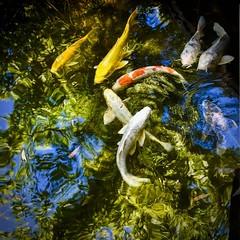 Carpes Koi 9 (thierrybalint) Tags: water reflets carpes koi nikon nikoniste poissons mare pond fish carp reflections animal faune bassin basin wildlife