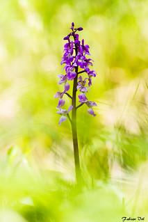 IMG_8517 Ile-de-France - Orchis mâle - Orchis mascula
