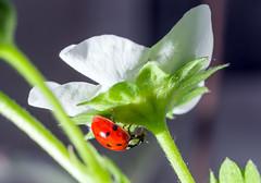 Bishy Strawberry Guard (StuMcP) Tags: ladybird beetle bishybarnabee garden strawberry plant extensiontubes 70200l stuartmcpherson uk bug flower leaf spots shell