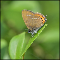 Black Hairstreak (image 1 of 3) (Full Moon Images) Tags: monks wood nature reserve wildlife insect macro cambridgeshire black hairstreak butterfly