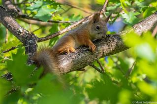 Nuori orava (Sciurus vulgaris), Young Red squirrel