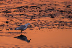 Searching Dinner / Langeoog (Pascal Riemann) Tags: abendstimmung deutschland langeoog stimmung gewässer natur spiegelung vogel tier möwe landschaft nordsee meer animal bird germany landscape nature outdoor reflection reflexion eveningmood mood northsea sea seagull waters