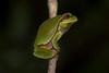 Pine Barrens Tree Frog (Hyla andersonii) (Douglas Heusser Photography) Tags: pine barrens tree frog amphibian endangered species wharton state forest pines nj new jersey macro canon photography night nocturnal green rare heusser photo nature hyla andersonii