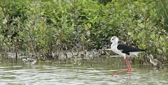 Echasse avec sa petite famille (michelpedu1) Tags: echasseblanche himantopushimantopus blackwingedstilt charadriiformes récurvirostri mazeres domaine des oiseaux 09