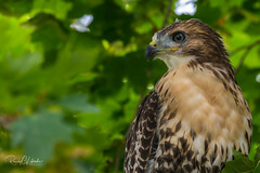 Red-tailed Hawk - Buteo jamaicensis | 2018 - 12 (RGL_Photography) Tags: birding birds birdsofprey birdwatching buteojamaicensis chickenhawk fledgling fortmonmouth hawk monmouthcounty mothernature newjersey nikonafs600mmf4gedvr nikond500 onlyraptors ornithology raptors redtail redtailedhawk us unitedstates wildlife wildlifephotography