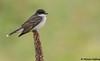 Eastern Kingbird (Tyrannus tyrannus) - Kingsvale, BC (bcbirdergirl) Tags: easternkingbird tyrannustyrannus bc kingsvale thompsonnicola flycatcher