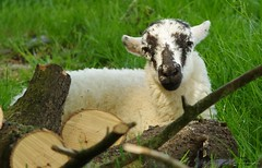 lamb in a log pile (1) (Simon Dell Photography) Tags: lamb log pile laying field castleton derbyshire peak district views nature landscapes simon dell photography 2018 summer countryside