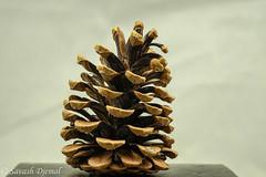 DSCF2091-Edit.jpg (Sav's Photo Gallery) Tags: focusstacking acorn nature savash inmygarden