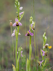 """Bee Orchids """"Explored"""". (little mester.) Tags: derbyshire orchid pleasleycolliery pleasleypit wildflowers beeorchid butterflies smallblue"""