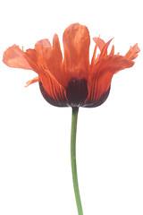 Poppy (DankSpangle) Tags: flower canonfd50mmf14 sonya7r
