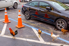 Cluck Cluck and Away (Michael Goldrei (microsketch)) Tags: fujilovers december x100t lots street dec leading carparks usa chicken photos 2017 photographer st photography fuji 17 miami series painted downtown carpark lines cones wild follow leader cockerel caution cock traffic cone xseries rooster fujifilm florida us orange customers lot car parking lead photo parks chickens park america x
