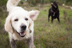 Legs muddy, fur flying! (Kate and Dog Photography) Tags: goldenretriever blacklabrador black lab retrievers friends dogs fun playtime
