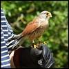 Bramble, Kestrel (kcm76) Tags: walthamabbey codafalconry birds 2018 olympuse620