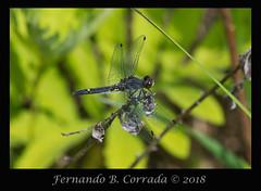 Dot-tailed Whiteface (8224) (fbc57) Tags: sigma180f28apomacroexdgos nikond850 vermont bristol beavercreek anisoptera libellulidae skimmers dragonflies leucorrhiniaintacta dottailedwhiteface