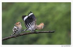 Une Huppe qui bat de l'aile ! (C. OTTIE et J-Y KERMORVANT) Tags: nature animaux oiseaux huppefasciée allemagne
