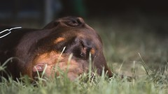 Deep Sleep (zola.kovacsh) Tags: outdoor animal pet dog club show dobermann doberman pinscher