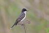 Eastern Kingbird (Alan Gutsell) Tags: bird birding wildlife nature canada alan animal eastern kingbird easternkingbird flycatcher migration spring