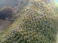 Mass death at Serapong, Jun 2018 - Disk coral (Turbinaria sp.) (wildsingapore) Tags: sentosa serapong cnidaria turbinaria dendrophylliidae scleractinia island singapore marine coastal intertidal shore seashore marinelife nature wildlife underwater wildsingapore