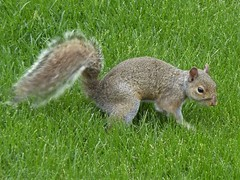 Wheaton, IL, Squirrel (Mary Warren 10.6+ Million Views) Tags: wheatonil nature fauna animal mammal gray squirrel