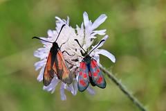 Widderchen (Hugo von Schreck) Tags: hugovonschreck moth macro makro widderchen schmetterling butterfly insect insekt greatphotographers canoneos5dsr tamron28300mmf3563divcpzda010