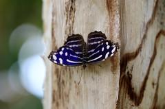 Royal blue (Nature B★★X) Tags: royal blue mysceliacyaniris butterfly nature wildlife img8952