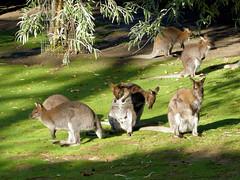 WALLABIES (Raymonde Contensous) Tags: ménageriejardindesplantes zoo mnhn animaux nature wallabies kangourous marsupiaux