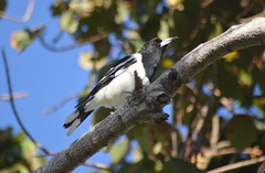 Pied Butcherbird (Cracticus nigrogularis) (Urban and Nature OZ) Tags: piedbutcherbird bird birds butcherbird australianbirds