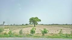 Providing shade. (Somersaulting Giraffe) Tags: tree green desert fields ngc nature wild hot sky landscape traveling road roadtrip bark leaves
