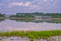 Magical Morning at Raymond Pool (dngovoni) Tags: action background bird bombayhook clouds delaware egret landscape reflection sunrise water wildlife