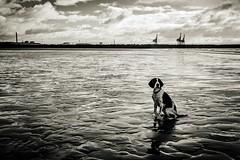 Industrial dog (the mr gnu) Tags: blackandwhite monochrome englishspringerspaniel themrgnu beach docks