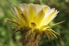 Trichocereus bloom, Tohono Chul Park (Distraction Limited) Tags: trichocereushybrid trichocereus echinopsis cactus flowers tohonochulpark desertcorner botanicalgardens gardens tucson arizona tohonochulpark20180522 explore