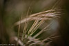 Grass Sway (lorinleecary) Tags: grasses california cambria centralcoastcalifornia motion