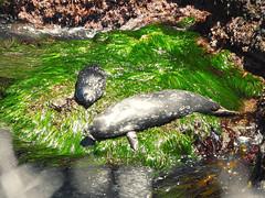 (mariananox) Tags: seal foca califórnia beach praia nature natureza