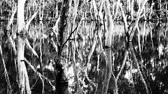 Quarry Lake Reflections in Black & White, South Australia (Red Nomad OZ) Tags: australia plant monochrome art reflection lake southaustralia bushland