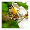 Käfer-Hochzeit (dolorix) Tags: dolorix wahnerheide insekt insect käfer beetle hochzeit mating natur nature lepturamaculata blackandyellowlonghornbeetle