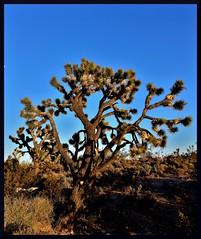HighDesert (VegasBnR) Tags: nikon sigma vegasbnr nature socal california desert highdesert cactus jashuatree jashua mojave mojavedesert bluesky blue nowhere