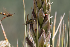 bees and beetles on yucca (c coop) Tags: auroraco spring bees beetles plainsconservationcenter yucca