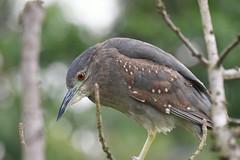 Young Black-crowned Night Heron - 2 (Gomen S) Tags: animal wildlife nature bird 2018 spring asia tropical nikon 80400mm d500 taiwan taipei