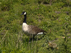 Baby Sitting (Phil...H) Tags: nature geese chicks mft mirrorless