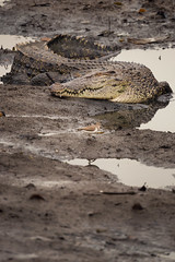 The Waiting Game (terrencechuapengqui) Tags: sungei buloh crocodile wildlife